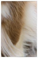 7/12/B tasku - flow (sure2talk) Tags: tasku finnishlapphund flow abstract fur coat hair hairy nikond7000 nikkor85mmf35gafsedvrmicro 12monthsfordogs 12monthsfordogs17 712b