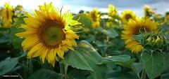 Tournesol (fred'eau) Tags: flower tournesol jaune exterieur nature plante champ panasonic fleur flori couleur soleil