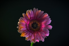 Macro - A Gerbera Daisey Light Show - Black Background (Allan A Albery) Tags: daisey flowers lightroomsonya7ii sony90mmmacrofe macro pink gerbera illumination lighting led yellow backlit blackbackground colour vibrant