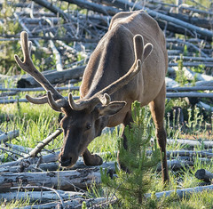 Sneaky young bull (browtine1) Tags: elk yellowstone wildlife wapiti national park