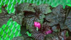 Lonly Heard (Renate Bomm) Tags: 7dwf blume canoneos6d ef200mmf28l fenced fencedfriday flora green herz pink project365 renatebomm tränendesherz zaun
