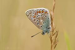 Hauhechel-Bläuling (Eleonora Lengemann) Tags: falter bläuling hauhechelbläuling butterfly schmetterling sommer juli natur makro sigma 150 nikon d700 macro