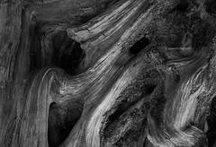 Roots (I) [BW] (Modesto Vega) Tags: nikon nikond600 d600 fullframe monochrome blackwhite bw blancoynegro noiretblanc schwarzundweiss monocromo wood tree curve