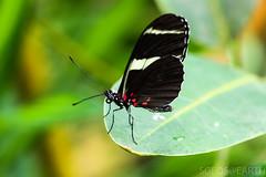 20170715-IMG_7381 (SGEOS@EARTH) Tags: vlindertuin vlinder vlinders butterfly butterflies vlindersaandevliet observer colorfull insects nectar indoor nature wildlife canon macro 100mm