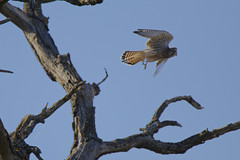 Faucon crecerelle (floLMA) Tags: fauconcrécerelle falcotinnunculus commonkestrel falconiformes falconidés lauragais fourquevaux