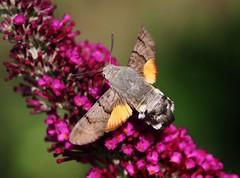Macroglossum stellatarum (Hugo von Schreck) Tags: hugovonschreck macroglossumstellatarum hummingbirdhawkmoth butterfly schmetterling macro makro insect insekt canoneos5dsr tamron28300mmf3563divcpzda010