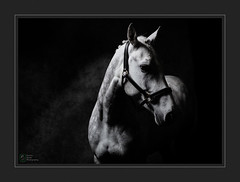 Lotty 4 (Stuart Leche) Tags: equestrian equine horse wwwequinestudiophotography