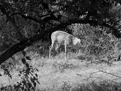 deer (lesleydugmore) Tags: deer tree outside outdoors yalnationalpark srilanka asia ceylon leaves trees
