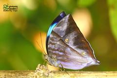 The Common Saturn ♂ - ผีเสื้อพระเสาร์ธรรมดา (Antonio Giudici Butterfly Trips) Tags: thailand krungchingwaterfall nakhonsithammarat butterflies lepidoptera thecommonsaturn male ผีเสื้อพระเสาร์ธรรมดา nymphalidae morphinae zeuxidiaamethystusamethystus