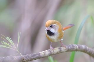 黃羽鸚嘴 / Golden parrotbill