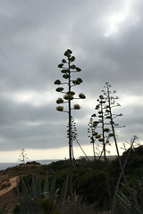 IMG_2618 (Kirk Y.) Tags: portugal lagos centuryplant agave algarve