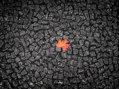 Platanus (GMPdS) Tags: canadas maple leaf platanus folha de bordo platano petit pave sidewalk calçada red orange yellow vermelho laranja amarelo black white with one color preto e branco com uma cor