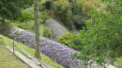 Wisteria Heaven III (m_artijn) Tags: kawachi fujien jpn wisteria heaven purple blue rain tree shrub