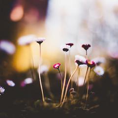 macro flora (snegiri.bird) Tags: flowers flora flower macro mark2 ambience atmosphere autumn summer spring russia green grass bokeh botanical canon