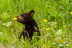 Dandelion Cub (espeeus) Tags: bear animal wildlife alaska black dandelions cub