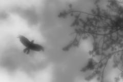 Crow (Helena Normark) Tags: crow flyingcrow crowflying mood monochrome bw pictorialism glow glowing trondheim sørtrøndelag norway norge sonyalpha7 a7 50mm monocle monolens russianlens
