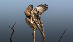 Buzzard (hardy-gjK) Tags: raptor prey greifvogel nature wildlife bussard buzzard vogel birds oiseaux fly nikon hardy tree baum arbre animals tiere