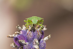 Shield bug on lavender (Benjaminio) Tags: bug insect beetle shield critter lavender green purple flower nature wildlife macro closeup sigma 105mm
