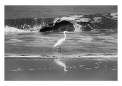 the noble egret (handheld-films) Tags: india bird egret sea beach kerala indian birdlife water waves serenity serene quiet calm tranquility tranquil blackandwhite easterngreategret mono nature stillness