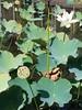 Lotus sacré (Nelumbo nucifera) (photopoésie) Tags: nelumbonacées nelumbonucifera