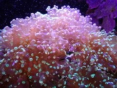 Euphyllia paradivisa - 20/06/17 (Philippe_Boissel) Tags: scleractinia euphylliaparadivisa caryophylliidae captive cnidaria 0063 corail corailmou