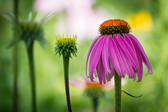 stages (Christian Collins) Tags: canoneosrebelt2i ef70200mmf4lusm flower flor coneflower daisy plot summer lush pink closeup michigan midland july 2017
