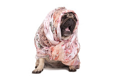 cute pug puppy with scarf (monicaclick) Tags: adorable animal background bandana beautiful beige breed canine cheeky cute dog down droll funny furry goofy grumpy headwear headcloth headscarf hijab humorous isolated kerchief lovely paws pedigree pet pretty pug puppy screaming shorthaired singing sits sitting sjawl small smart white yawning yeling