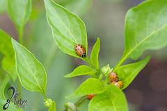 Macro-LadyBugs_07 (ZieBee Media) Tags: ladybug garden