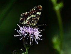 Butterfly (moniquedoon) Tags: butterfly natuur nature vlinders