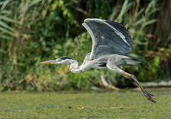 Airone cenerino (marypink) Tags: ardeacinerea aironecenerino laghidimantova parcodelmincio bird lake water flight nikond500 nikkor80400mmf4556