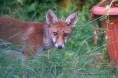 Brave.... (law_keven) Tags: fox foxes animals mammals urbanfox redfox gardens catford london uk vulpes vulpesvulpes wildlife wildlifephotography photography