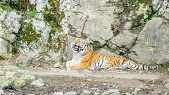 Baillement du Tigre de Sibérie (Zéphyrios) Tags: besançon doubs franchecomté nikon d7000 citadelle musée muséum jardinzoologique zoo animal tigre sibérie tigredelamour panthera tigris