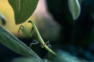 Mantis among leaves