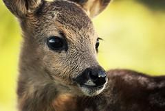 Fawn (aurorapesonen) Tags: mammal animal cute baby roe fawn animalphotography canon poland wildlifephotography wildlife wildanimal sweet beautiful photography eyes summer outdoor nature