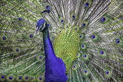 Peacock & Plumage Portrait (C. P. Ewing) Tags: peacock peafowl bird birds animal animals avian blue feathers plumage beautiful green yellow nature natural outdoor outdoors colorful multicolored autoremovedfrom10to25faves
