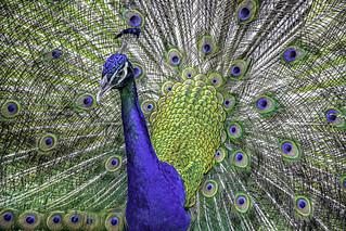 Peacock & Plumage Portrait
