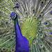 Peacock+%26+Plumage+Portrait