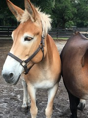 Mule Moms (angelnfreefall) Tags: gypsy vanners mules gold farm horses breeding farms belgian crossbred