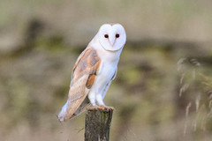 Barn Owl (Terry Angus) Tags: barn owl barnowl predator uk