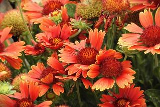Gaillardia - Blanket Flowers