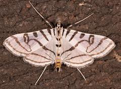 Zebra Conchylodes Moth (drkilmer) Tags: myersville maryland unitedstates us