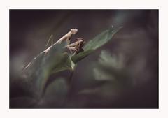 Perdre la face (Futoigokiburi) Tags: insect macro mantereligieuse naturallight nature prayingmantis