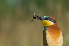 A jewel holding a jewel (tomaszberlin) Tags: bird european beeeater merops apiaster żołna zwyczjna colorful wildlife nature bulgaria nikon d500 bokeh ngc