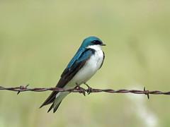 IMG_6598 (lbj.birds) Tags: kansas nature flinthills wildlife bird swallow treeswallow