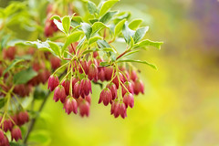 Permission to Shine (Synapped) Tags: rogerson clematis garden oregon showy lantern flower red