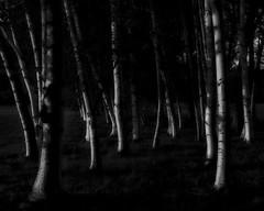 last rays on birch (Franky2step) Tags: goldenhour birch fujixt2
