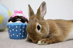 Ichigo san 801 (Ichigo Miyama) Tags: いちごさん。うさぎ ichigo san rabbitbunny netherlanddwarf brown ネザーランドドワーフ ペット いちご うさぎ rabbit