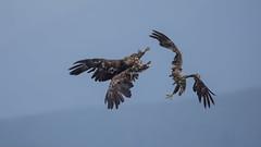 Zeearend / Haliaeetus albicilla / White-tailed eagle