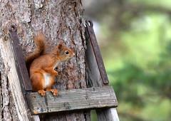 Do I need a ladder? (Terje Håheim (thaheim)) Tags: nature ladder squirrel nikon nikond500 d500 70200mmf28gvr