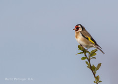 Goldfinch-5562. (martinpettinger) Tags: only invite admin feathers wings